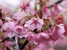 Kawazuzakura Mid March Cherry Tree Varieties Cherry Tree Flower Garden