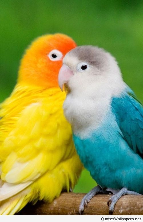 Love Mobile Wallpapers Hd With Sayings Pet Birds Colorful Birds