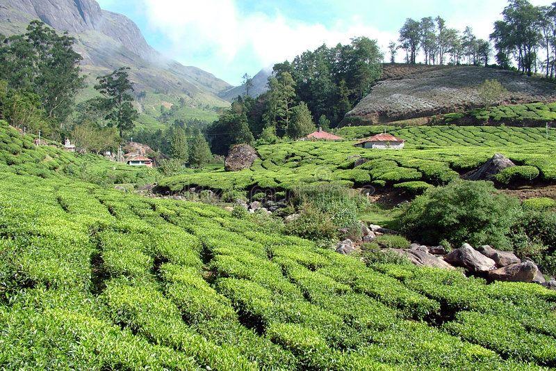 Tea. Garden, Munnar, Resort, Village, Kerala, India ,