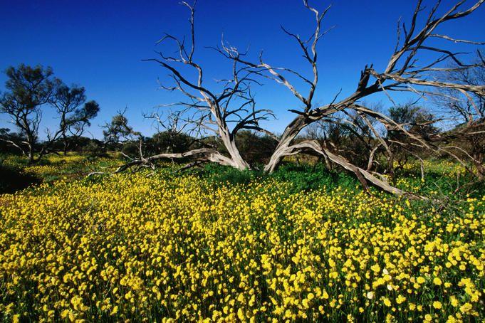 australia wildflowers   Western Australia's wildflower season