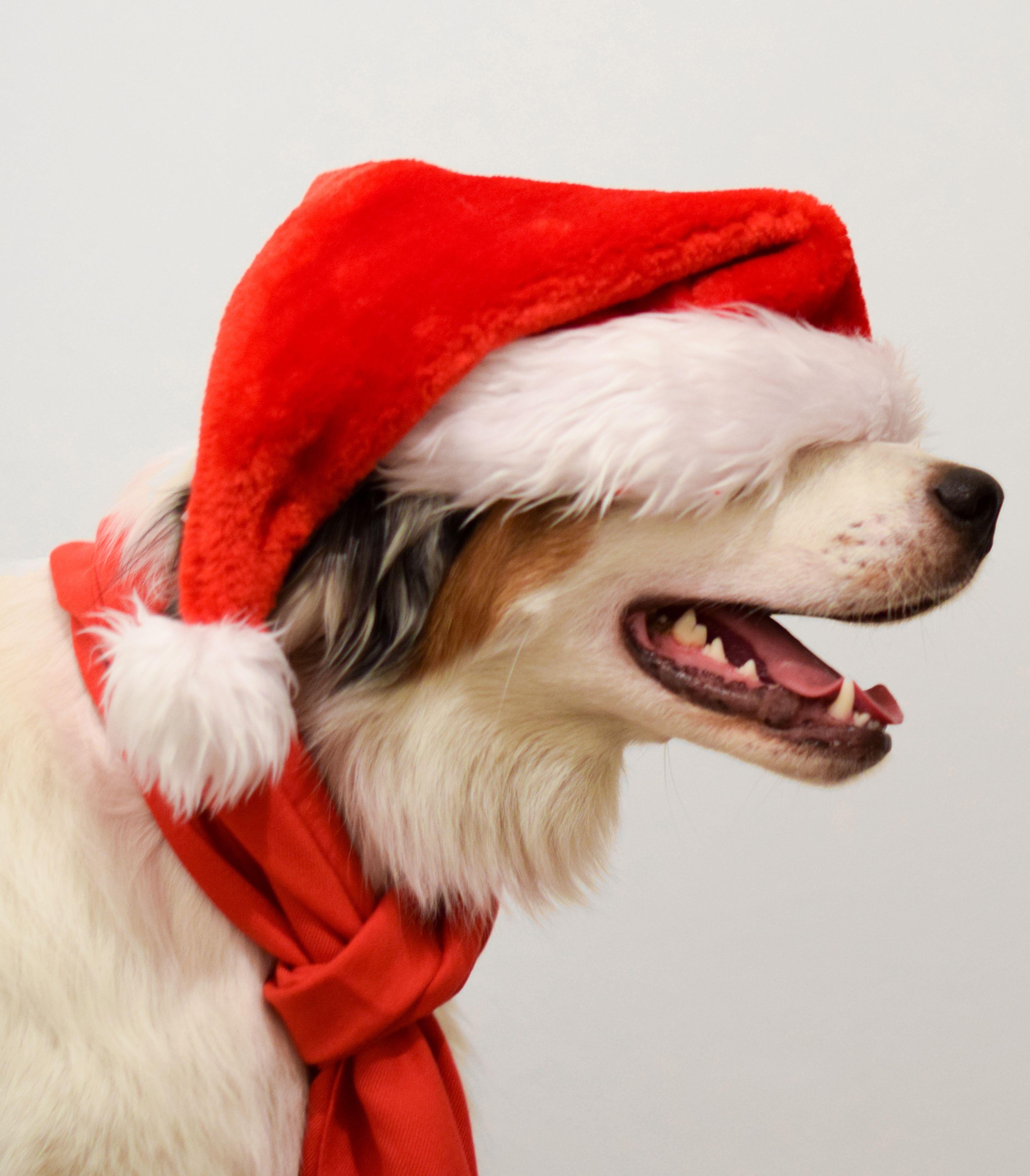Australian Shepherd Dog Xmas Dog Christmas Pictures Dog Xmas Australian Shepherd