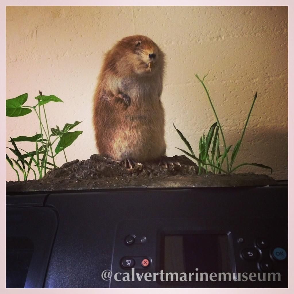 This little #muskrat found a home on one of the #exhibits department printers after the #estuarinebiology hall closed for renovation. Now every time they print he does a nice boogie-woogie for them. Wonder where he'll end up next. pic.twitter.com/Bbk3APOux9