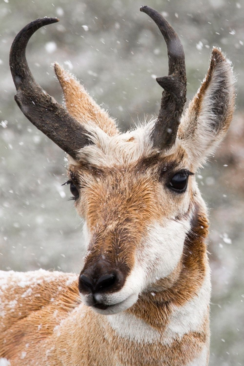 Pronghorn Facts Pictures Video In Depth Info Second Fastest Animal North American Animals Animals Most Beautiful Animals