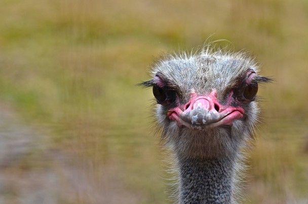 V Ostrich (Volstruis)