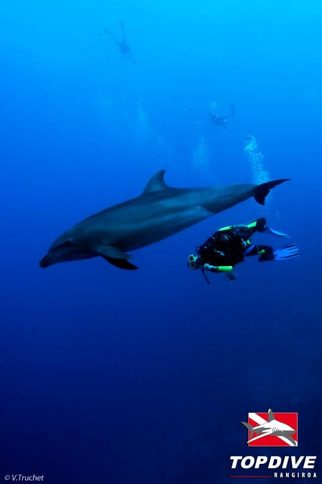 Dancing With Dolphin In Rangiroa Rangiroa Underwater Pictures Dolphins
