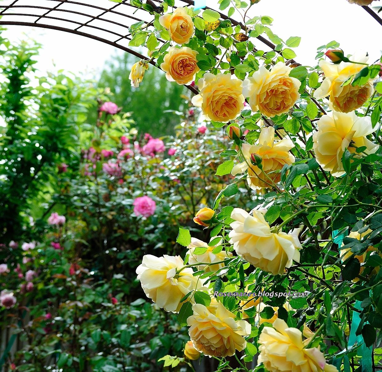 A Rose Is A Rose Golden Celebration Rose Garden Design Climbing Roses Cottage Garden