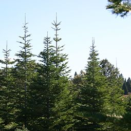 2261 Cable Road Camino Ca 530 644 3389 Season September December Http Ohalloranranch Com Christmas Tree Farm Tree Farms Trail