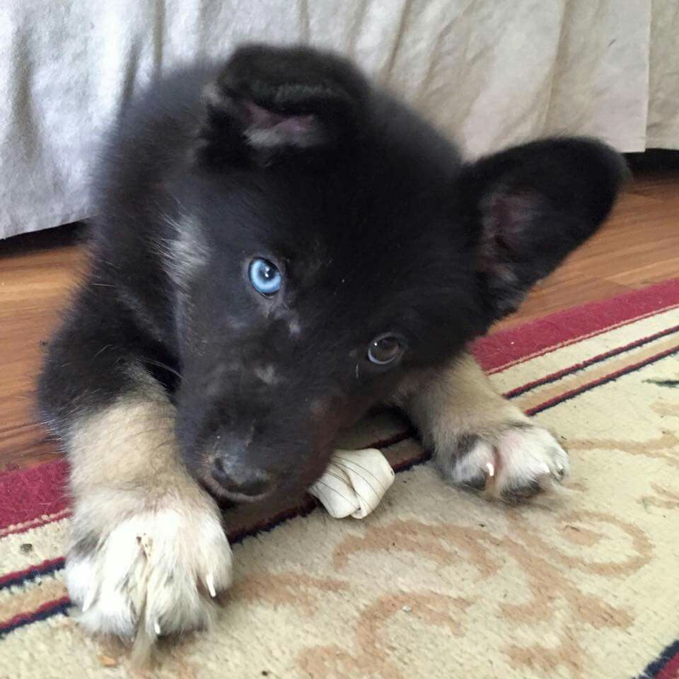 Stella At 10 Weeks Gerberian Shepsky Blue Eyed Dog Mixed Breed Dogs Cute Animals