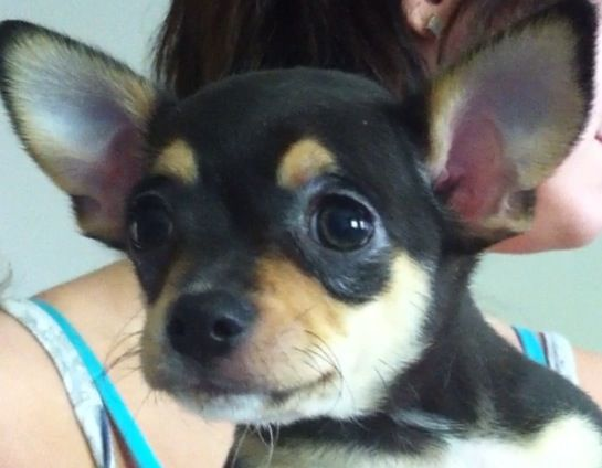 Micro Teacup Puppies For Sale In Virginia Yakaz Baby Chihuahua