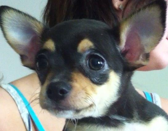 10 Week Old Remy Tan And Black Chihuahua Cute Chihuahua Cute