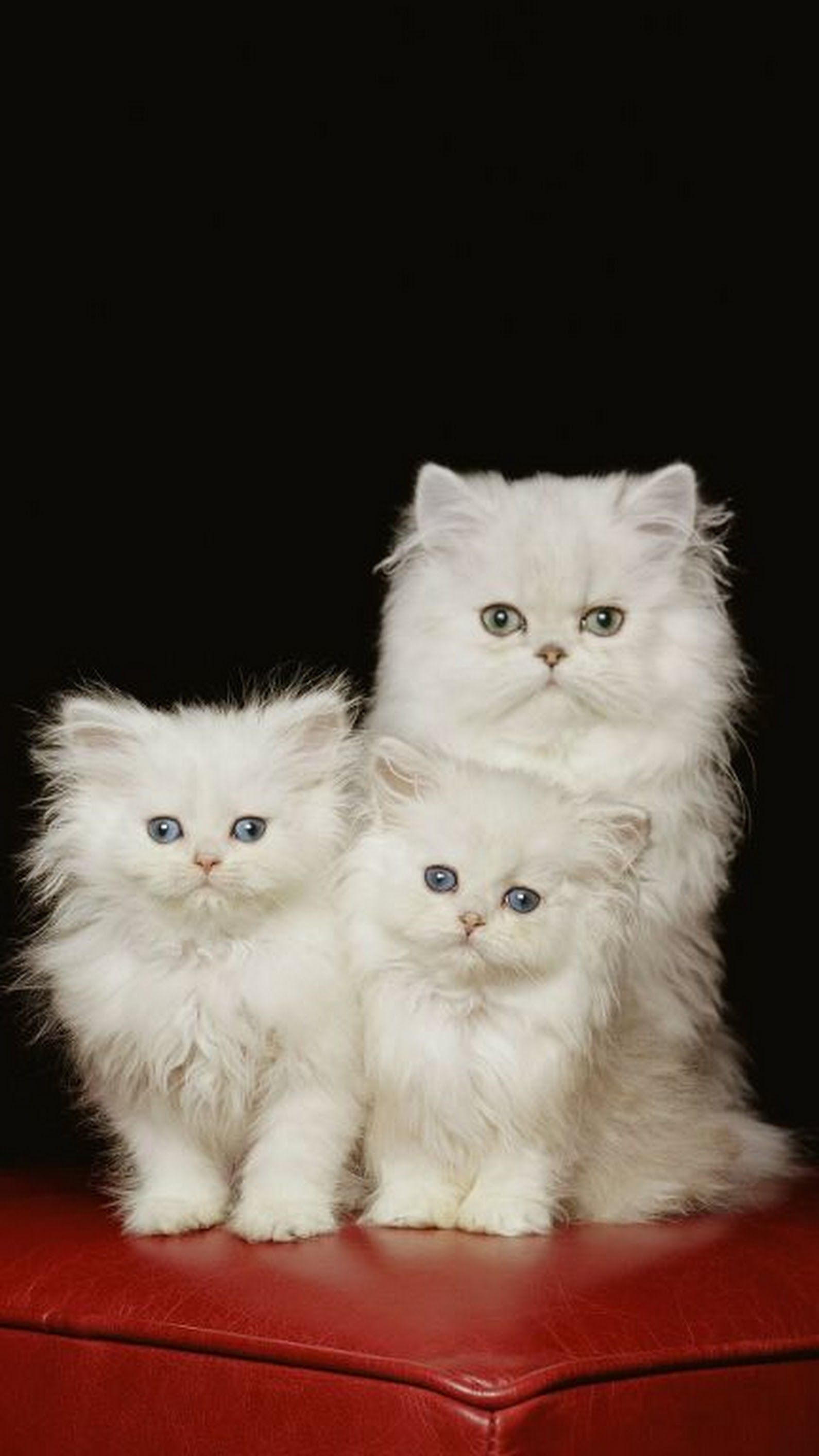 How Can You Do A Persian Cat Adoption? Cats and kittens