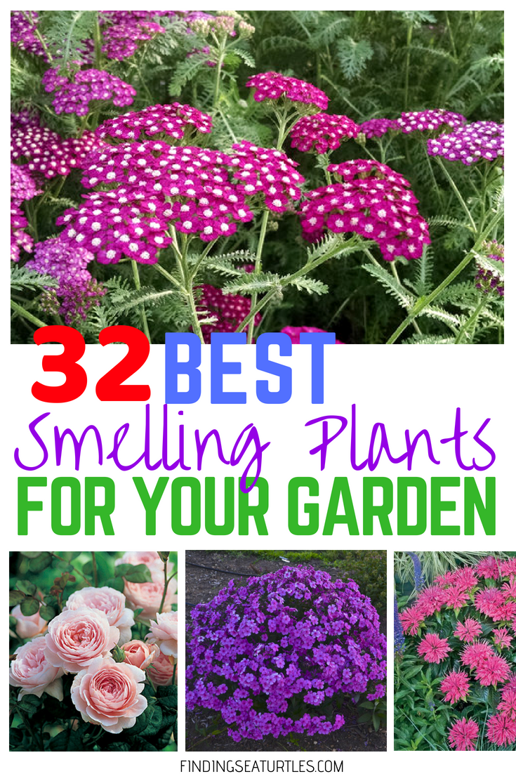32 Most Fragrant Perennials - Finding Sea Turtles