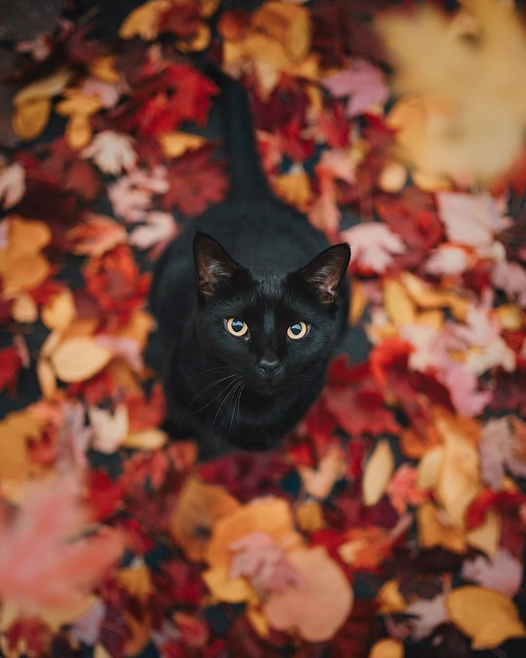 This Is My Time Of Year Says Kitty I Want Humans To Stop Treating Black Cats Cruelly During Our Favorite Time Of Year So We Cute Animals Animals Cat Love