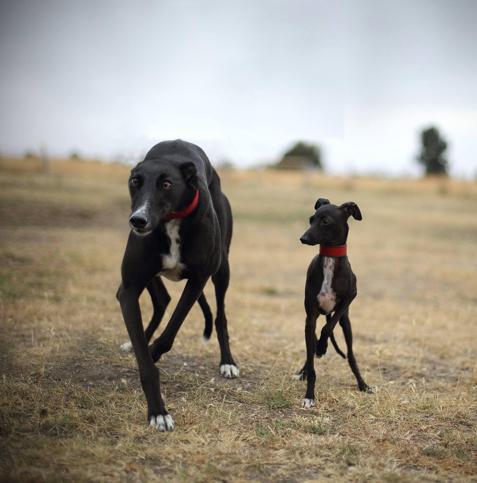 Linda Meerman S Photo Of Her Italian Greyhound Neko With Greyhound