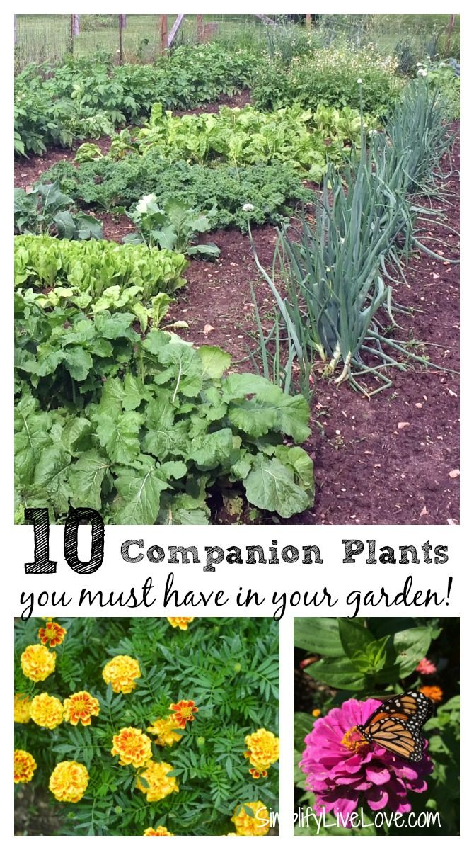 Companion Plants You Must Have In Your Vegetable Garden