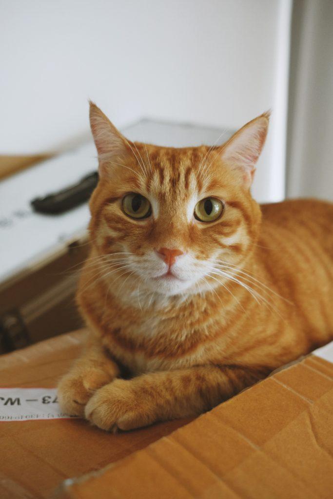 Why Do Cats Love Boxes So Much Orange Tabby Cats Happy Cat Orange Tabby