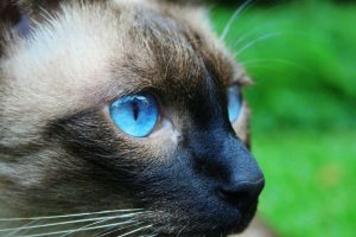 My Pets 2 Download Free Photos Cats Kittens Siamese Cats Blue Point Siamese Cats Cat Day
