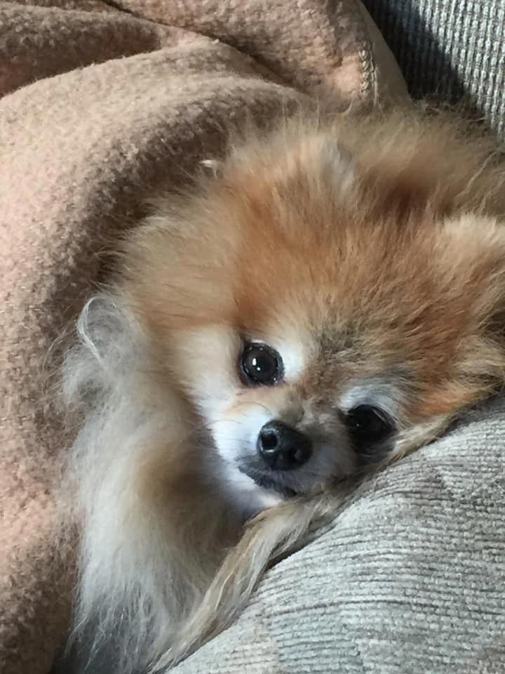 All The Things We Respect About The Lively Pomeranians Everything About Bold Pomeranians Pomeranianpumpkin Pomeranian Pomeranian Puppy Puppies Pomeranian Dog