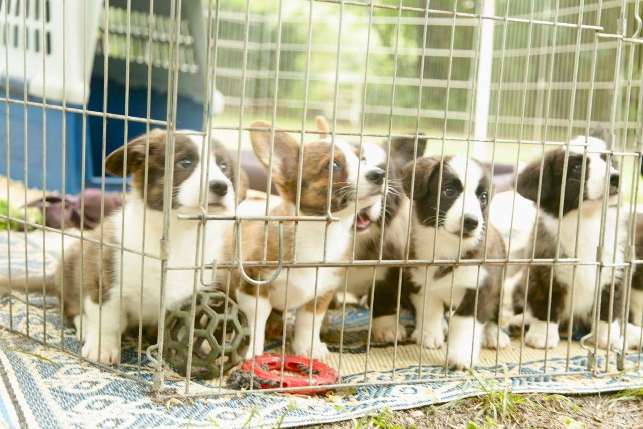 #Mulligan with his litter mates. #cardigancorgi #dogs