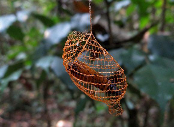 Resultado de imagem para Mariposa Urodid