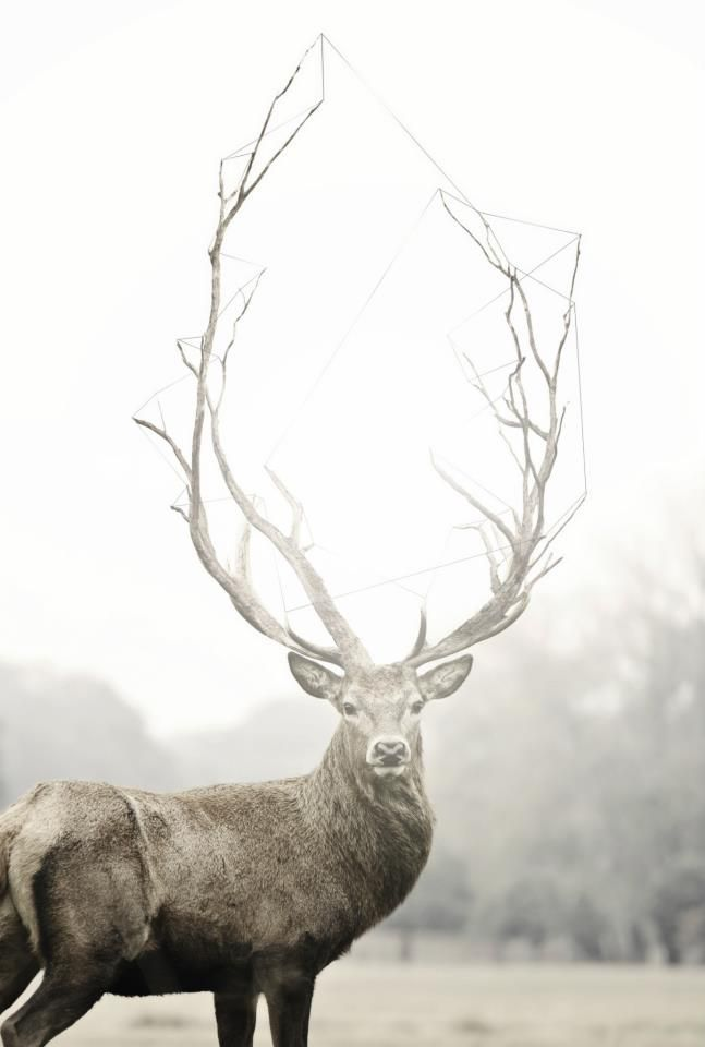 Stag with massive antlers