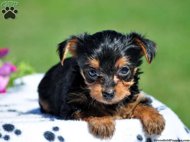 Queenie Tea Cup Yorkie Puppy For Sale In Gap Pa Yorkshire