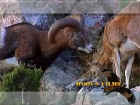 Muflone in Sardegna - YouTube