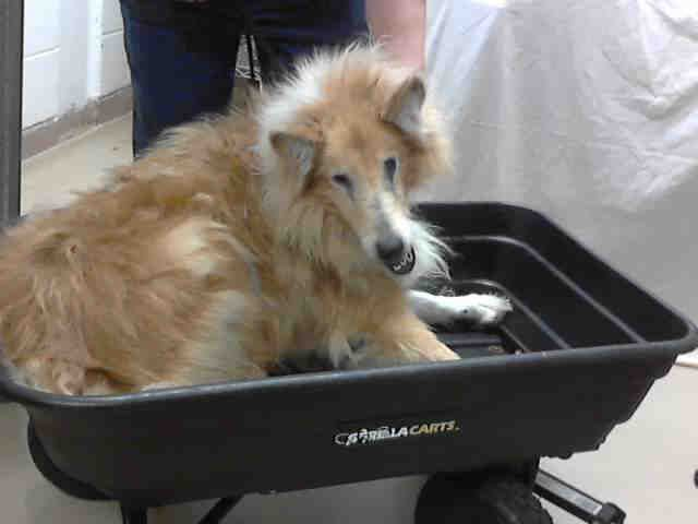 Texas Urgent Id A394550 Is A Senior 11yo Collie Dog In Need Of
