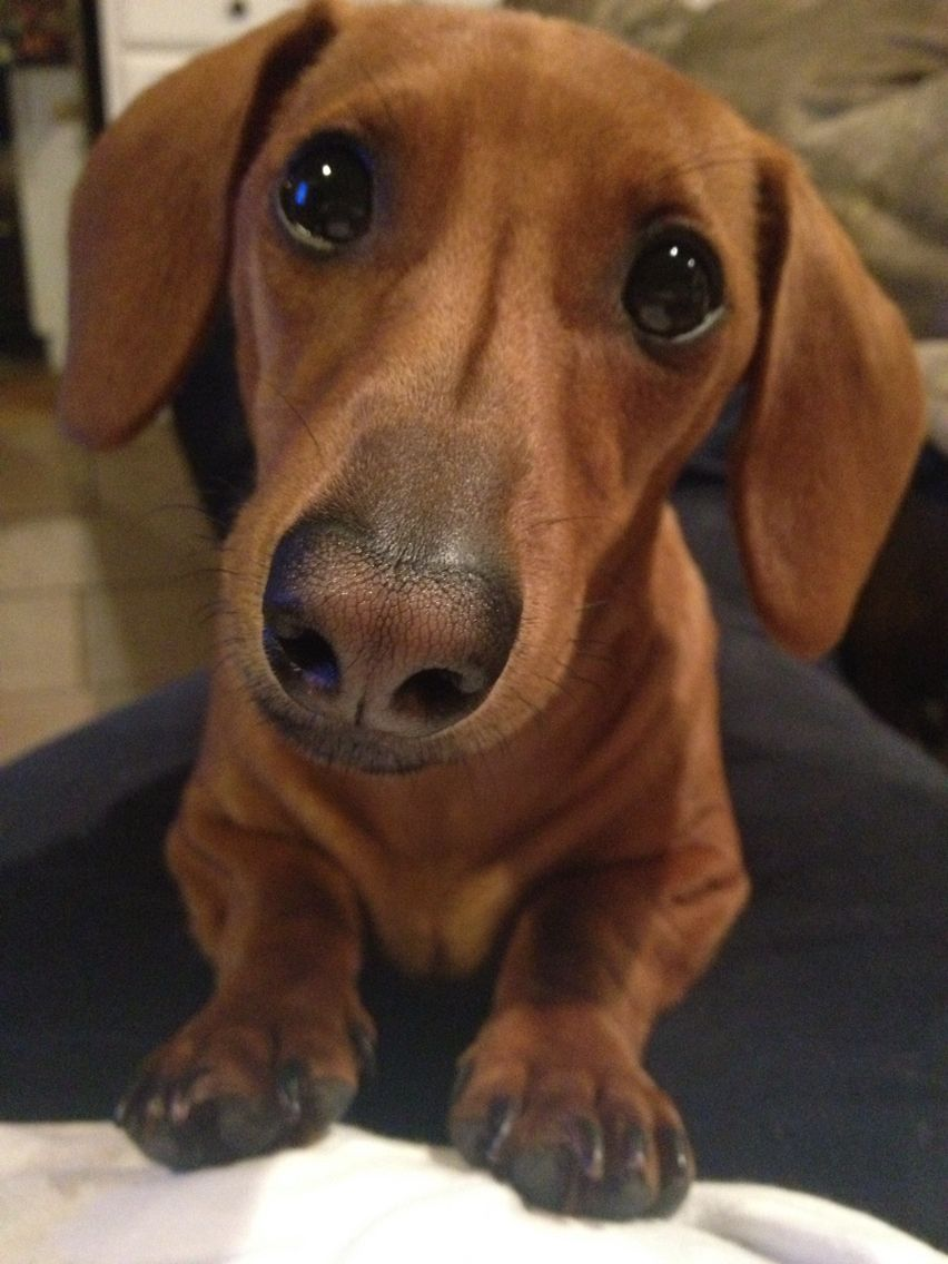That Face That Face That Fabulous Face Weenie Dogs