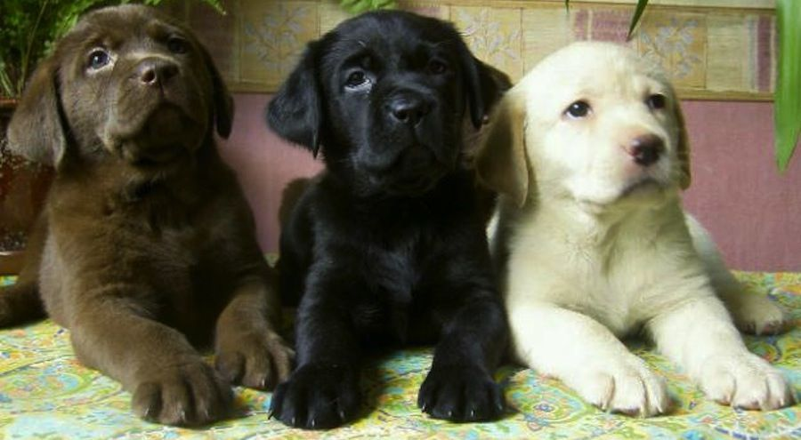 Labrador Retriever Puppies Brown Black And Yellow In 2020