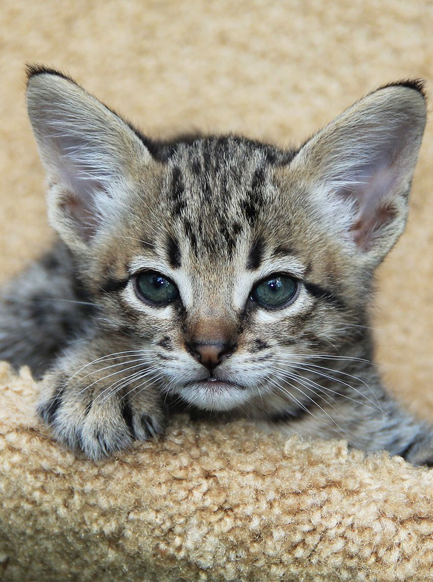 Savannah Cat Information A Complete Guide To A Hybrid Breed