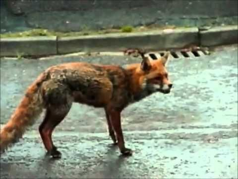 Perro salva a gato del ataque de un zorro