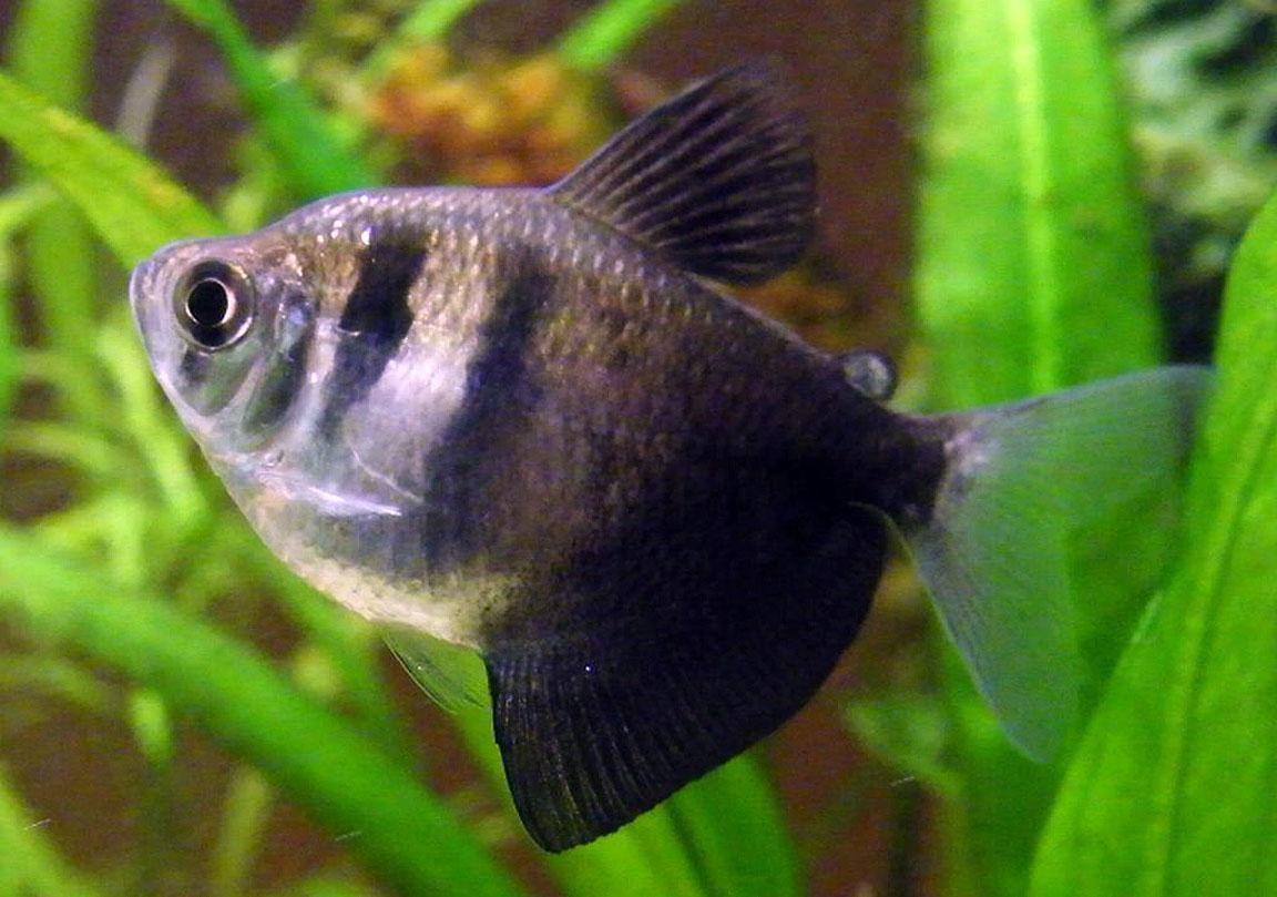 Black Tetra, Black Skirt Tetra - Gymnocorymbus ternetzi | Fishes ...