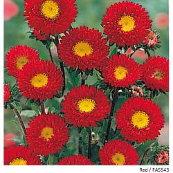 Aster Kurenai Red Flower Seeds Eventos Rojo