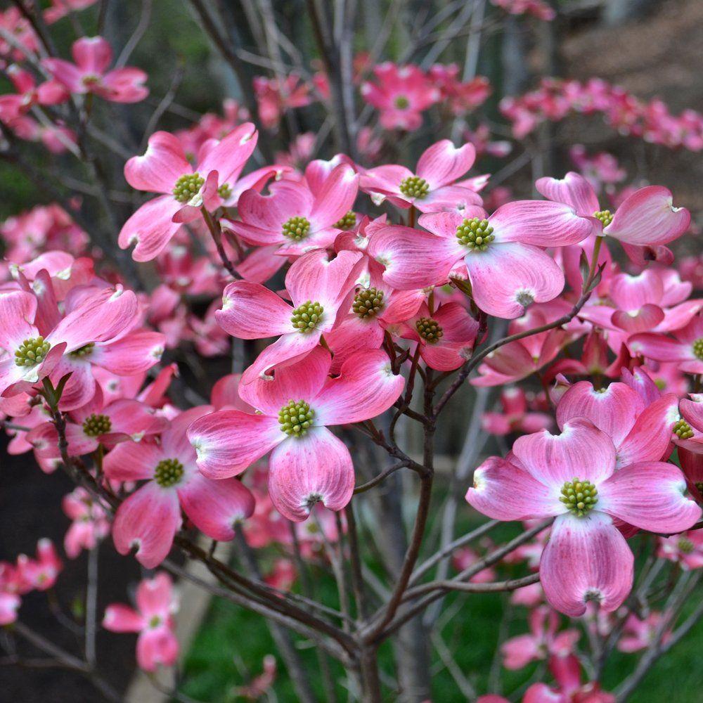 Cornus Florida Rubra Tree Flowering Dogwood Trees Ornamental