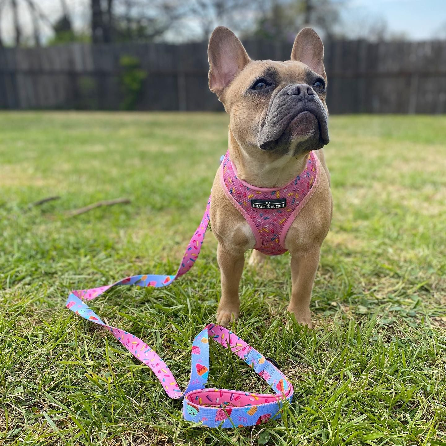 Cupcake Harness and Leash Set in 2020 French bulldog