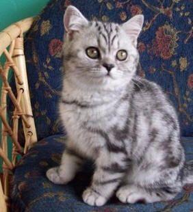 British Shorthair Silver Tabby Kitten Tabby Kitten Silver