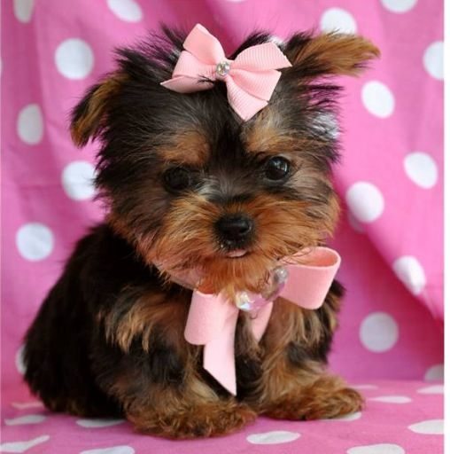 Download Puppies Bow Adorable Dog - 47b11afab409d76bf97669e2d9d20f43  Gallery_74289  .jpg