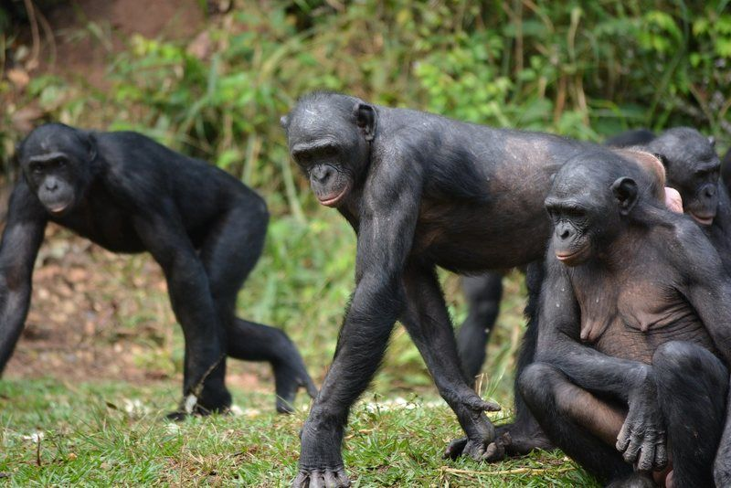 The Common Language Of Gesture Between Bonobos And Chimps