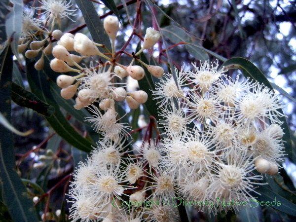 White flowering gum tree river pinterest australian flowers white flowering gum tree mightylinksfo