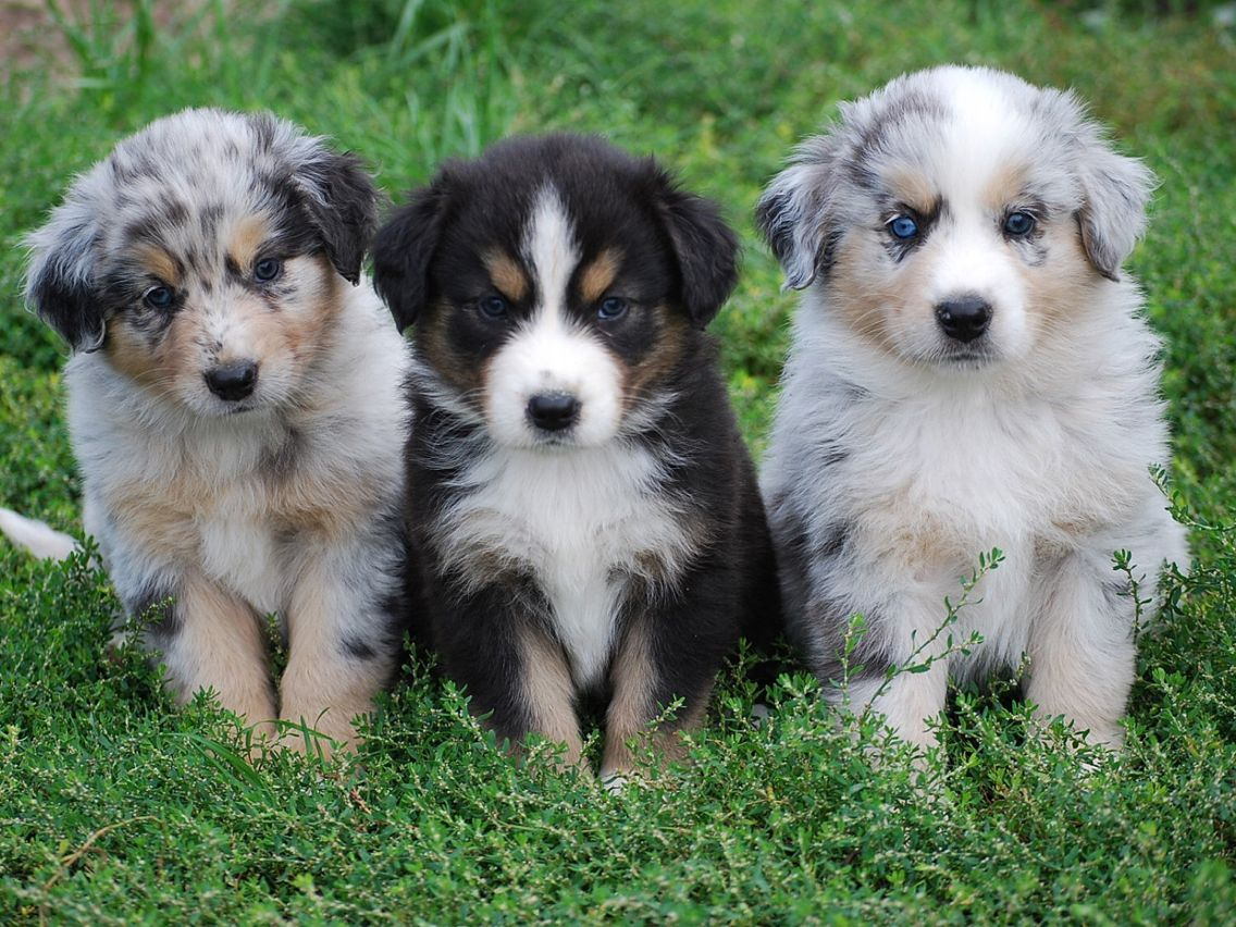 Miniature Australian Shepherd Puppies Shepherd Mix Puppies Australian Shepherd Dogs Australian Shepherd Puppies