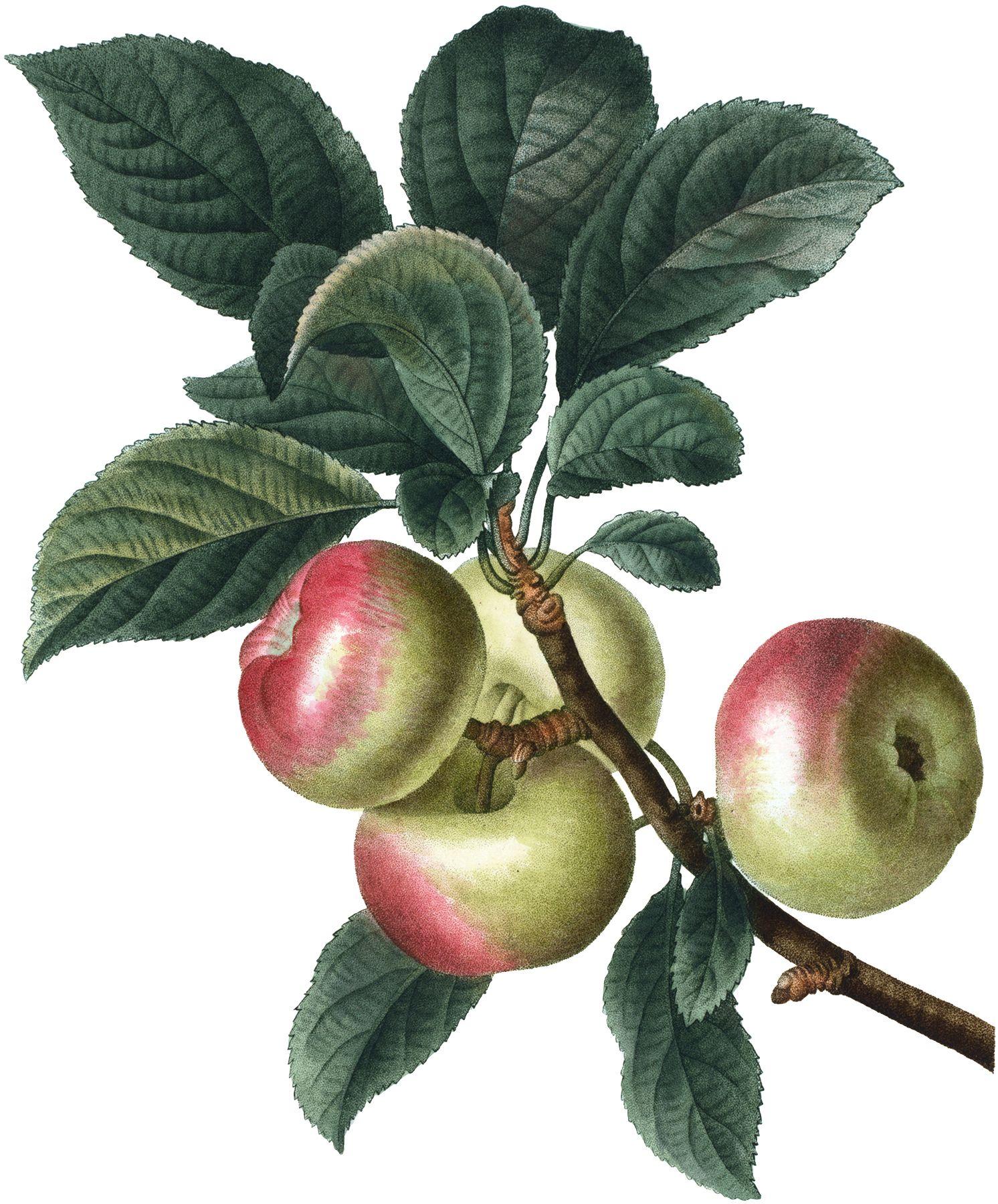 стеклокерамику цветы яблоки листья картинки фасоль красный