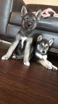 Gerberian Shepsky Mix Puppy For Sale In Myrtle Beach Sc Adn