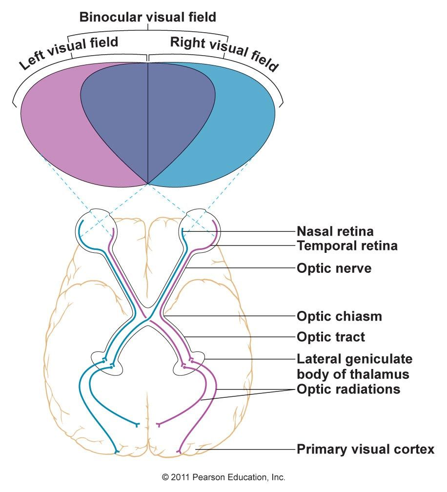 Visual cortex | Neuro/ Anatomy/ Physiology | Pinterest