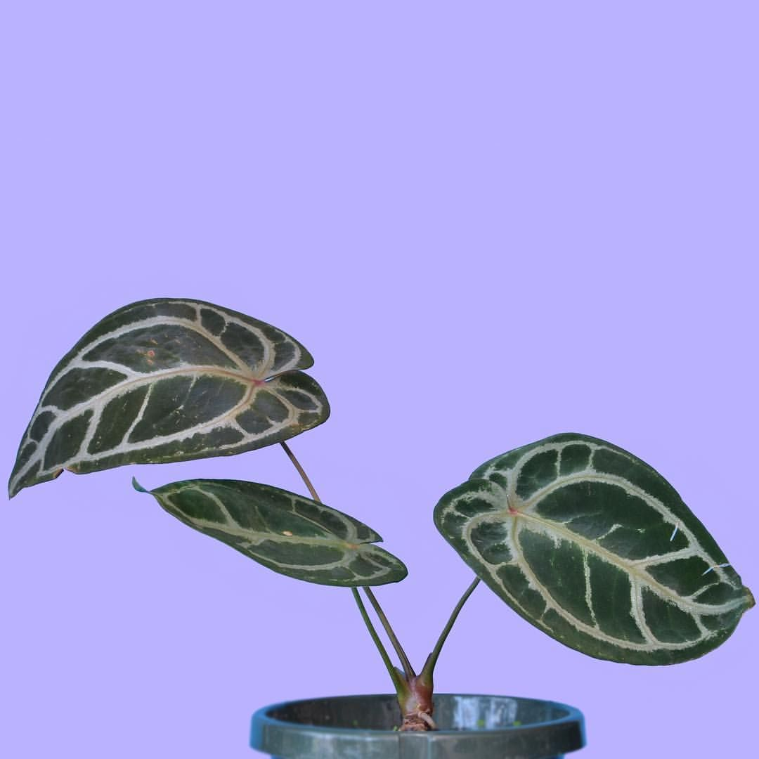 Anthurium Crystallinum Is Proving To Be One Of The More Easier Going Anthuriums In The Collection Meaning It S The Only One R Anthurium Plant Leaves Botanist