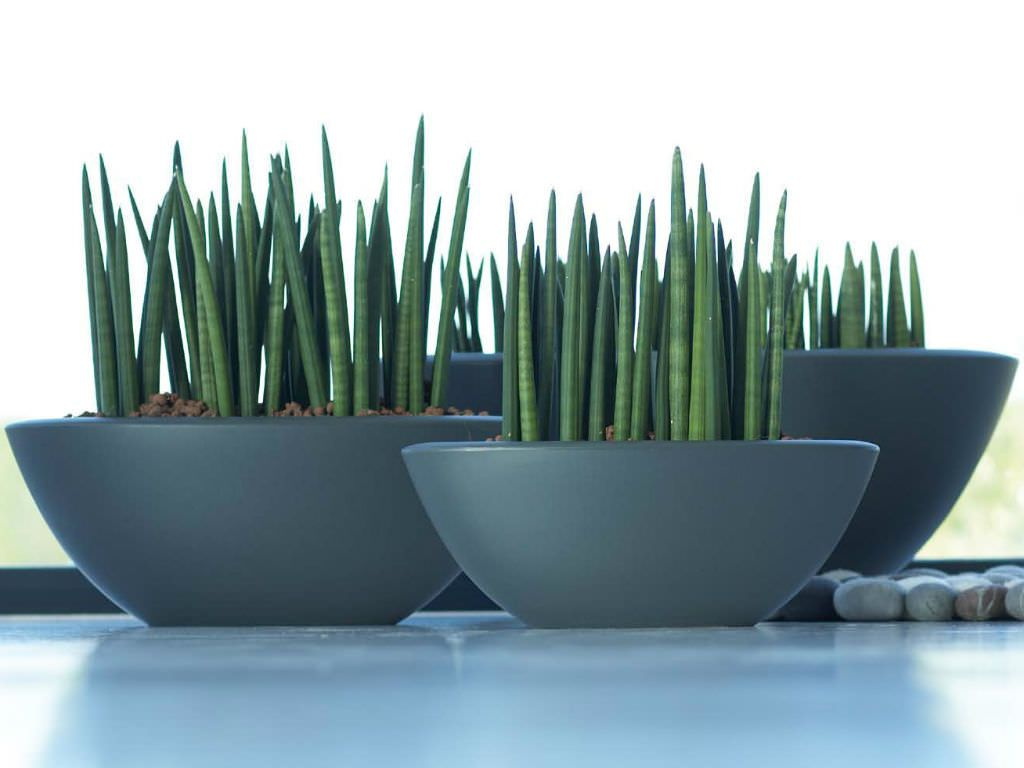 sansevieria cylindrica cylindrical snake plant plantes cactus et plante interieur. Black Bedroom Furniture Sets. Home Design Ideas