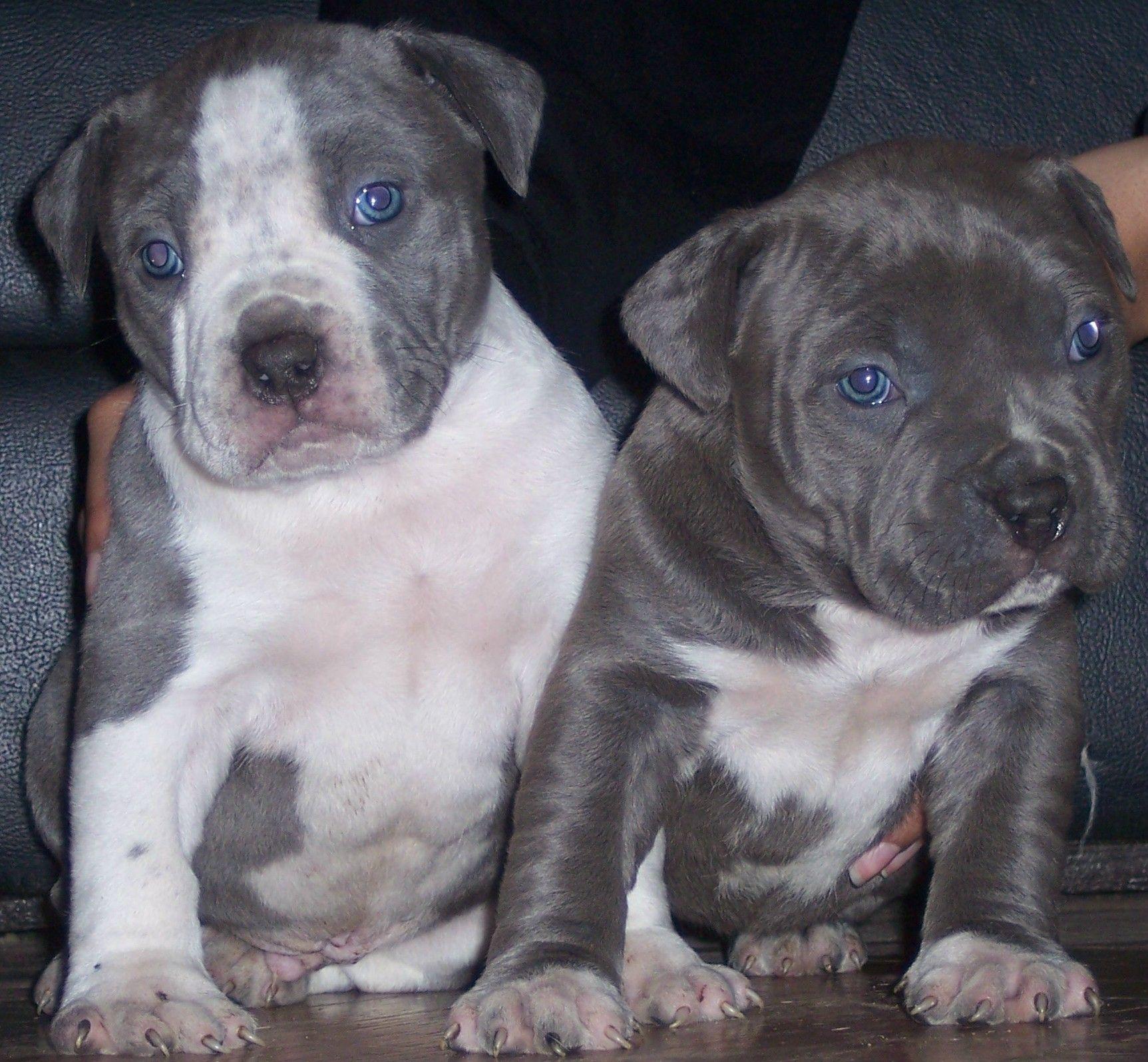 Blue Pitbull Puppies Pitbull Puppies Blue 5 Cute Puppies