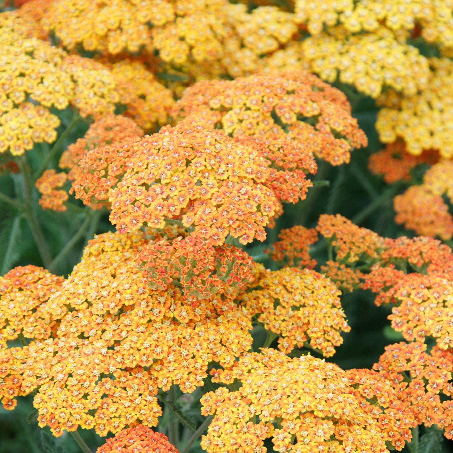Terra Cotta Common Yarrow For Sale Online The Greenhouse In 2020 Easy Perennials Achillea Yarrow Plant