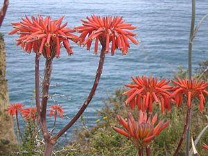 Aloe Maculata Ancienne Appellation Aloe Saponaria Nom Vernaculaire