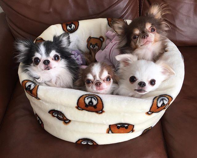 Love Circuscircus さんのベッド 気持ち良くて 撮影後はみんなうとうとし始めました チワワ ロングコート チワワ ロンチー 犬 犬バカ部 チワワ部 ふわもこ部 癒しワンコ In 2021 Chihuahua Puppies Cute Baby Animals Baby Animals
